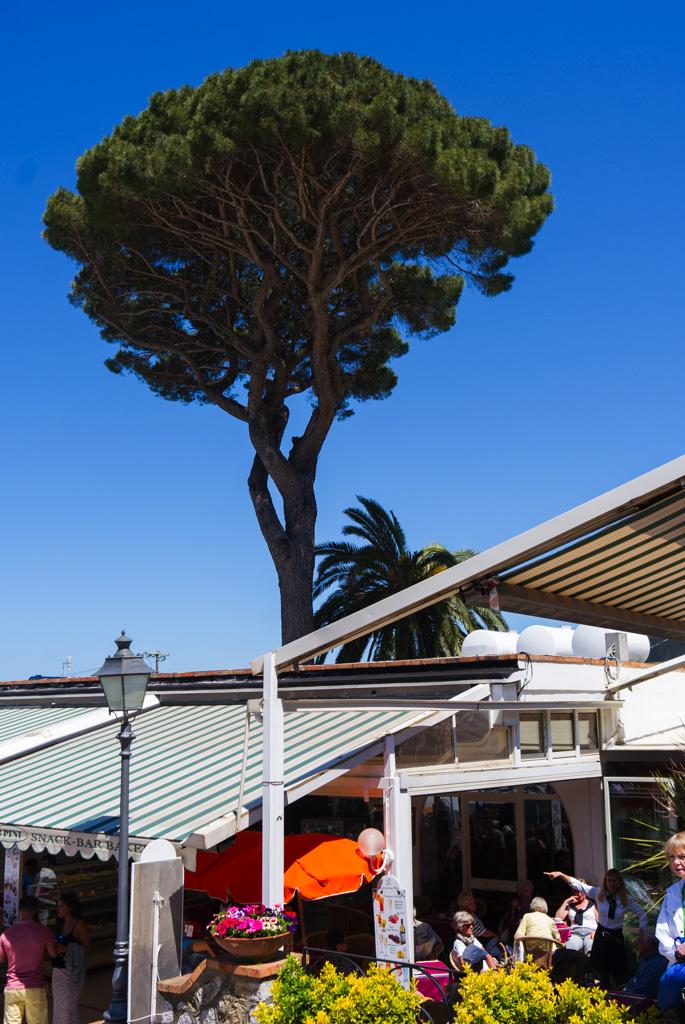 Pinjeträd Capri