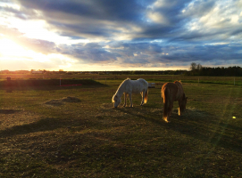 Gotlandsruss i kvällsljus